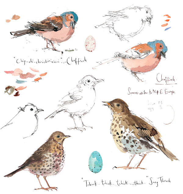Madeleine Floyd - Sketchbook - Chaffinch & Song Thrush