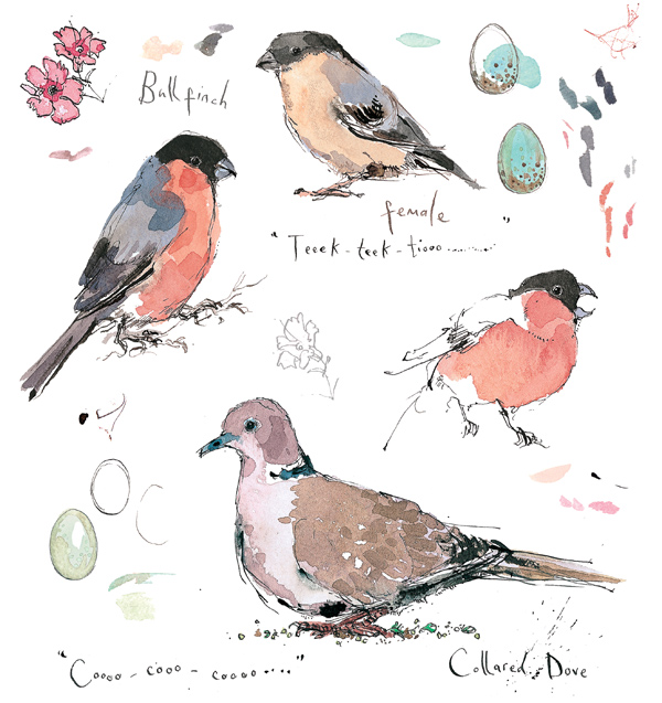 Madeleine Floyd - Sketchbook - Bullfinch & Collared Dove